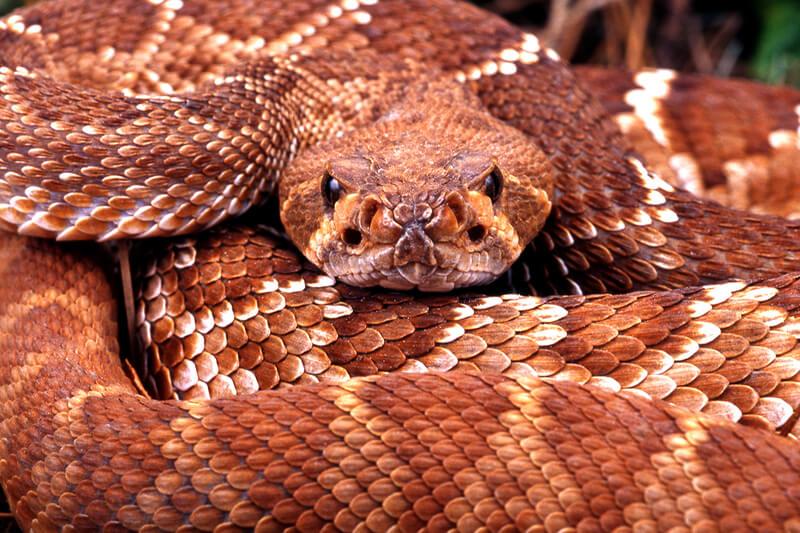 red diamond rattlesnake image