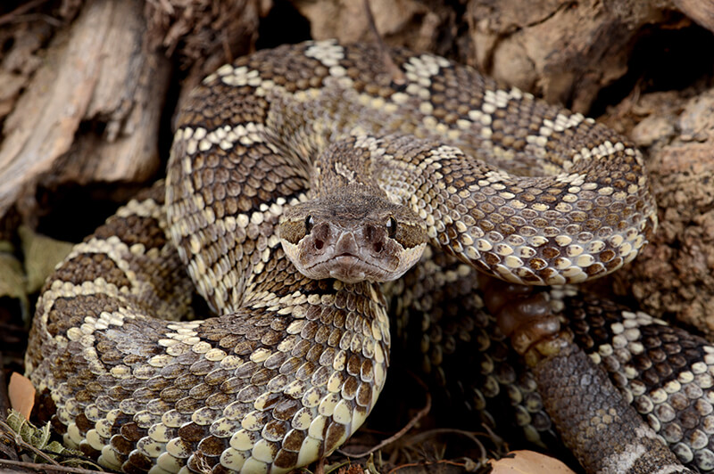 southern pacific rattlensnake image